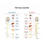 Sympathetic And Parasympathetic Nervous System. Difference. Diagram With Connected Inner Organs And  poster