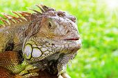 pic of godzilla  - Iguana close up at day with green gtass background.