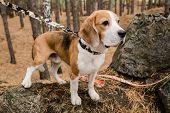Cute purebred beagle puppy with decorative handmade collar and leash chilling with owner in the fore poster