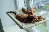 Cute Little Bengal Kitty Cat Laying On The Cats Window Bed Watching On The Street. poster