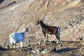 goats in the wild mountains