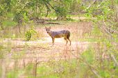 Sri Lankan Jackal (canis Aureus Naria) Are Endemic To Sri Lanka And Have Adapted Well To Human Encro poster