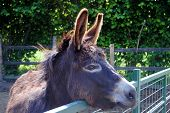 image of feedlot  - mule in a cowshed concept of captivity - JPG