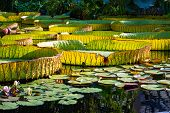 Giant Amazon Water Lily Closeup At The Pond poster