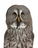 image of laplander  - Portrait of Great Grey Owl or Lapland Owl - JPG