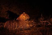The African Leopard (panthera Pardus Pardus) Feline Calmly Lying In Dry Grass In Dark Night. Zambia, poster