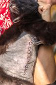 Vertical Incision Wound After A Mastectomy Surgery In A Cat. Pet Care Examination And Medication Dis poster