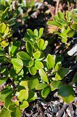 picture of bearberry  - Uva Ursi Herb Leafs In Its Habitat - JPG