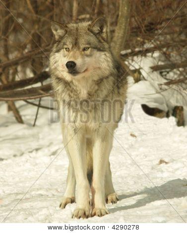 Alpha Male Wolf, Canada