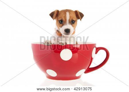 Six weeks old Jack Russel puppy dog in red dotted big coffee cup isolated over white background