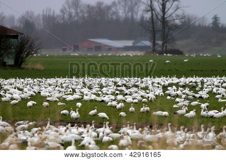Snow Geese Wintering on a Farm