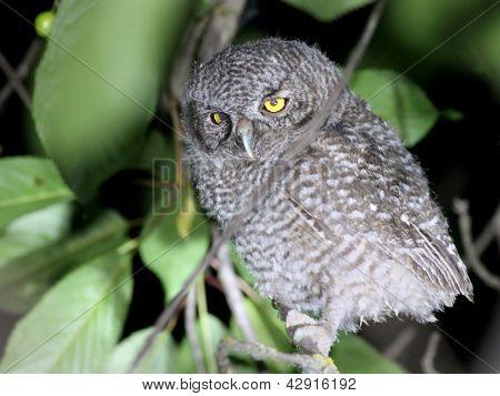 Baby Western Screech-Owl