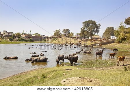Indian Herdmsan Watering His Cattle
