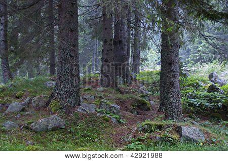Beautiful forest in Rila mountain