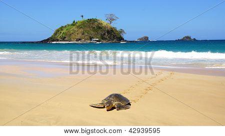 Sea turtle on Nacpan beach. El Nido
