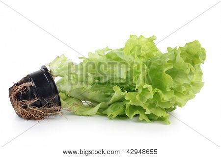 Color photo of salad leaves in a pot