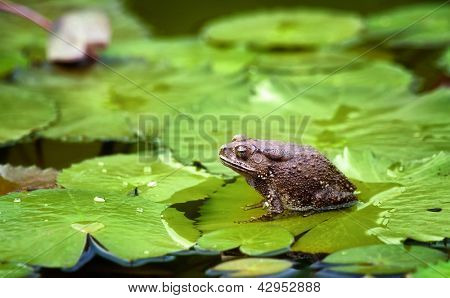 great image of a bull frog or toad on a lilypad