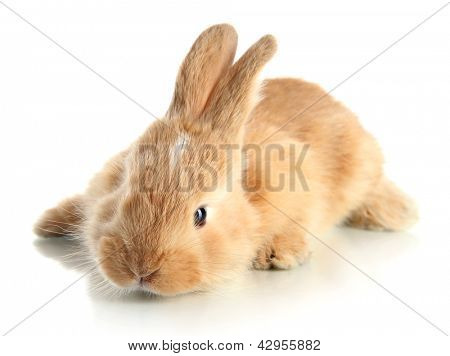 Fluffy foxy rabbit isolated on white
