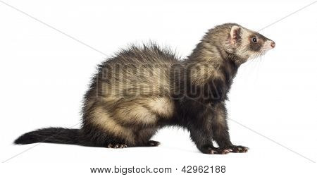 Ferret, 9 months old, sitting and looking away in front of white background