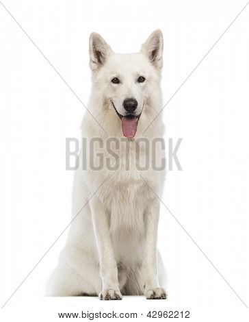 Swiss Shepherd dog, 5 years old, sitting, panting and looking at the camera in front of white background