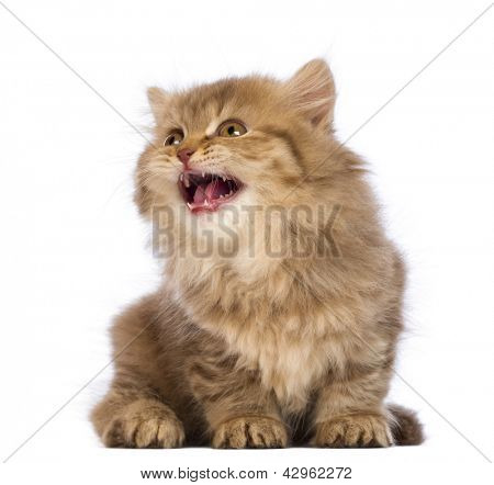 British Longhair kitten, 2 months old, sitting, looking up and meowing in front of white background