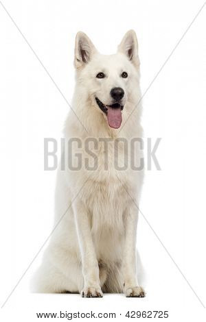 Swiss Shepherd dog, 5 years old, sitting and panting in front of white background