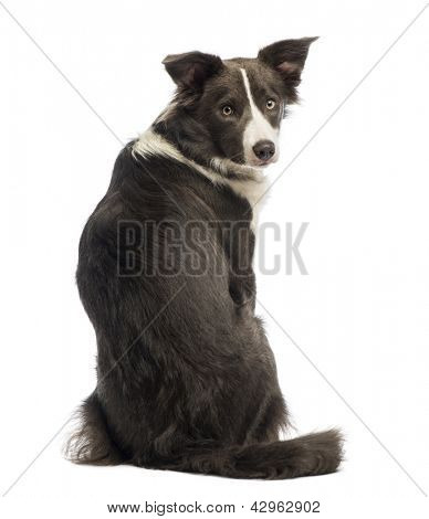 Rear view of a Border Collie, 8 months old, looking back at the camera in front of white background