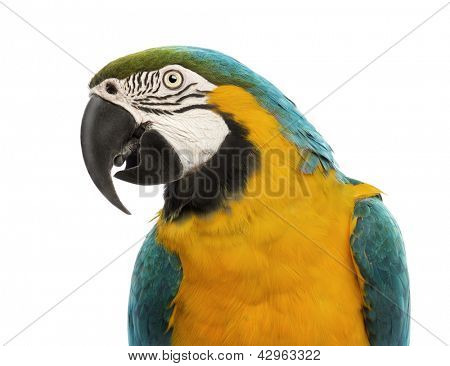 Close-up of a Blue-and-yellow Macaw, Ara ararauna, 30 years old, in front of white background