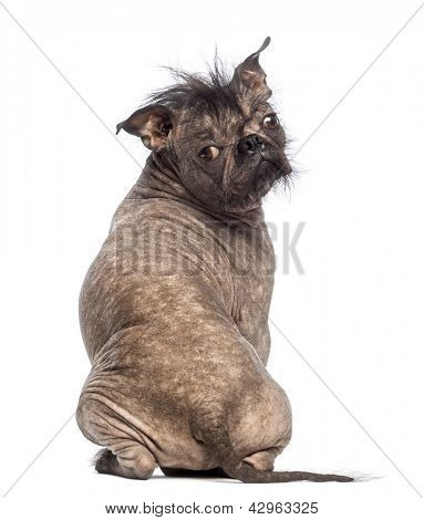 Rear view of a Hairless Mixed-breed dog, mix between a French bulldog and a Chinese crested dog, sitting and looking at the camera in front of white background