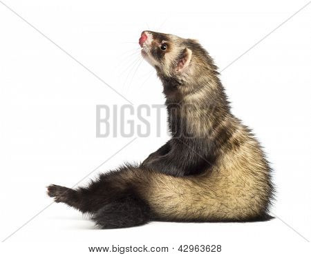 Ferret, 9 months old, sitting and looking up in front of white background