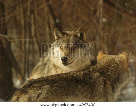 Wolf Sense