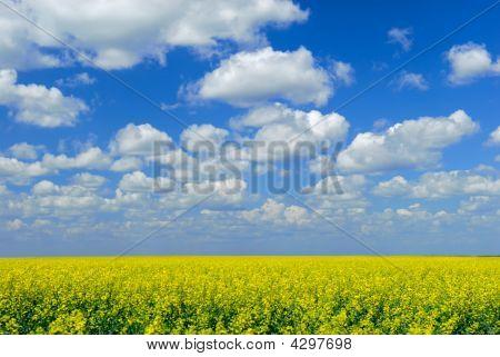 Canola Field Sky