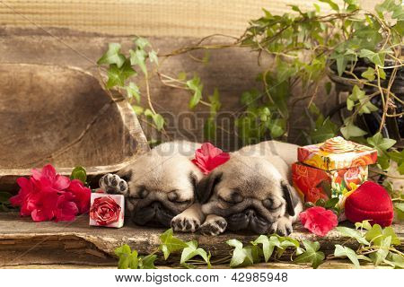 pug puppies and gift  box