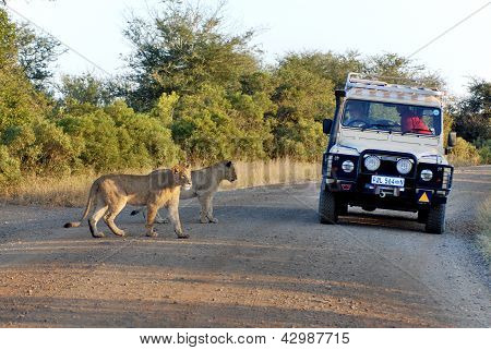 Lions just beside a tourist jeep
