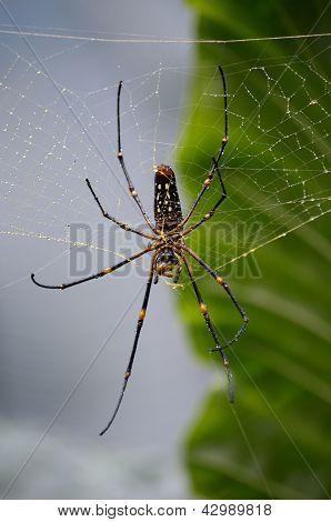 Poisonous Spider In Rainforest