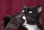 Beautiful Domestic Cat On A Red Background poster