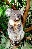 stock photo of koalas  - Australian koala sitting on a eucalyptus tree - JPG
