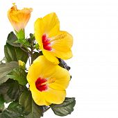 Yellow hibiscus flower isolated on white background. Clipping path included.