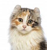 Постер, плакат: Крупный американский Curl котенка 3 месяца глядя на камеру перед белым backgroun