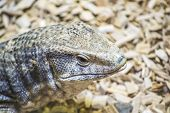stock photo of monitor lizard  - The savanna monitor  - JPG