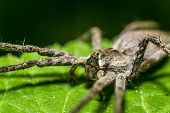 pic of venomous animals  - Extreme Macro Photo Of A Nursery Web Spider - JPG