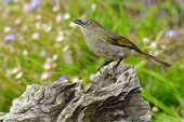 picture of bulbul  - The Sombre Greenbul  - JPG