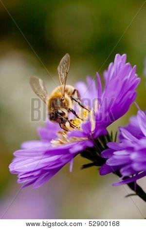Bee On Purple Flower