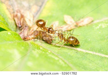 Ants Eating Aphids Honeydew Drop