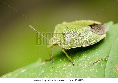 Green Striped Shield Bug Or Stink Bug
