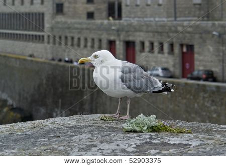Gull At Saint-malo