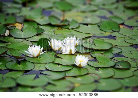 White Nymphaea Albas