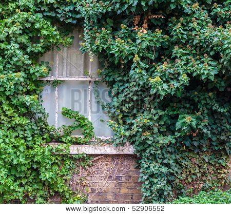 Old Window Covered In Ivy