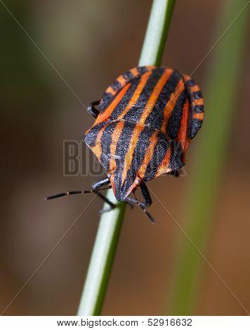 Striped bug on a culm