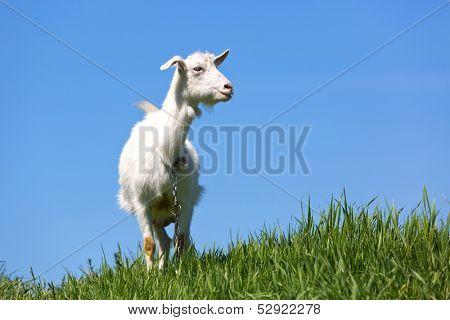 goat on green meadow under blue sky